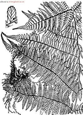 蕨叶横切结构图