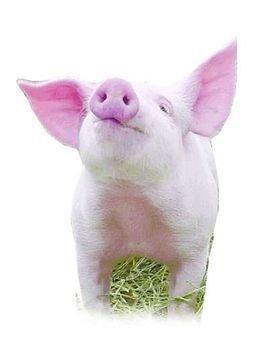 zooskooistay人猪 猪睡觉图片搞笑整人 朋友圈猪吃饭整人照片