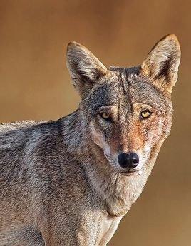 基本信息 中文名称 伊朗狼 亚门 脊椎动物亚门 亚种 伊朗狼 亚目 裂