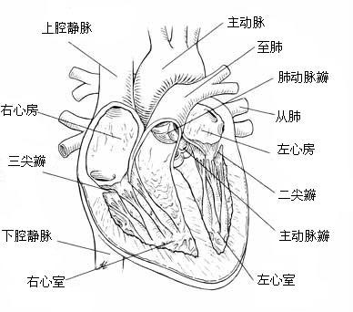 手绘心脏剖面图