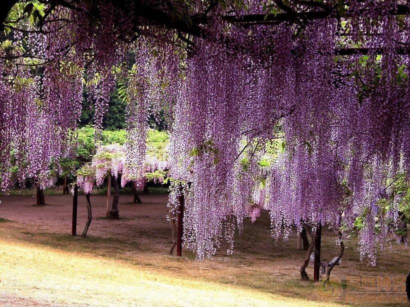 紫藤罗花边矢量图