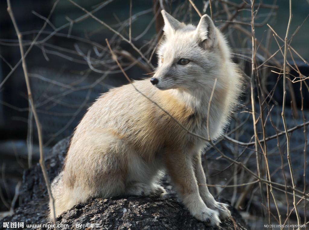 狐狸摄影图__野生动物_生物