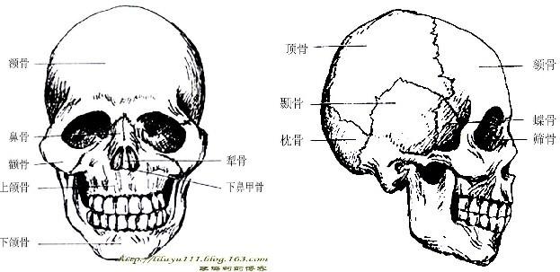 头部骨骼解剖图