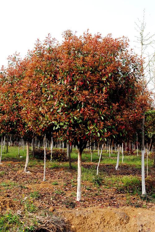 红叶石楠红叶石楠为常绿彩叶乔木