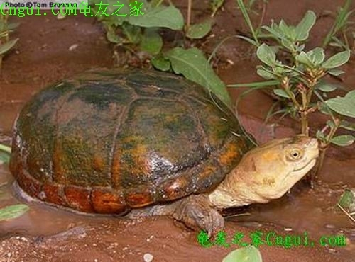 动胸龟科动物的问题主要可分为两类:1)野外捕获的龟