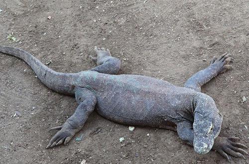 世界上最大的巨蜥