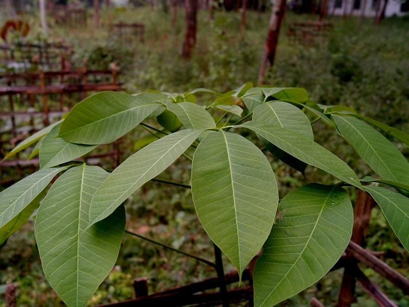 【别名】三叶橡胶树,巴西橡胶树