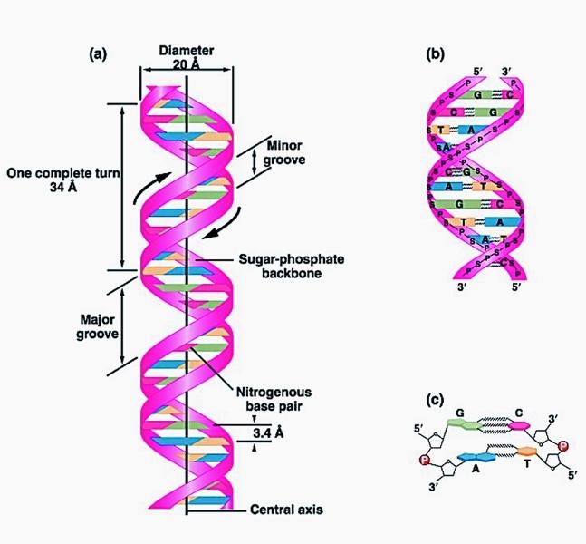 双螺旋结构_360百科