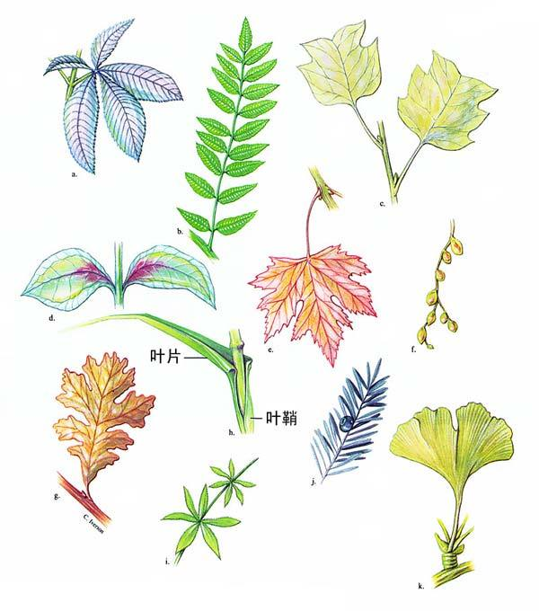 全文分总论,植物形态学