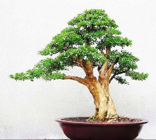盆景较耐寒,萌发性强,粗扎细剪,制成云片状或馒头状,或加工成自然树形