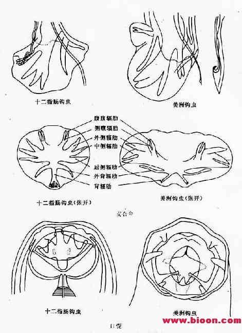 十二指肠钩口线虫